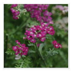 Common Yarrow 'New Vintage Violet' (Achillea millefolium)
