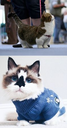 Munchkin cats are everything.