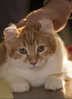 American Curl - Cat With Curly Ears - 8 Pics - Animal's Look