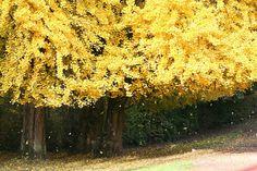 Goethe: Ginkgo biloba  Un poema dedicado a un árbol extraño  Puede que te extrañe que Johann Wolfgang von Goethe (1749-1832) dedicara un poema a este árbol ya que por entonces era casi un perfecto desconocido en Europa. Era aún muy reciente su introducción en Europa y tan extraordinario que incluso un botanista de Montpellier (Francia) llegó a pagar una enorme suma de dinero por un ejemplar.  Pero resulta que el bueno de Goethe además de poeta era novelista dramaturgo filósofo dibujante…