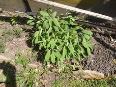 EVBJUAN Salvia officinalis - SALVIA  -  CALLE BERUTTI -BRANDSEN Salvia Officinalis, Plants, Planters, Plant