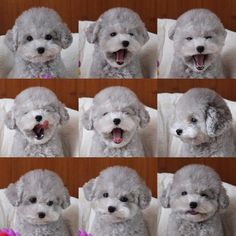 More About The Poodle Pup Temperament Animals And Pets, Baby Animals, Cute Animals, Cute Puppies, Dogs And Puppies, Poodle Puppies, Pet Dogs, Dog Cat, Doggies