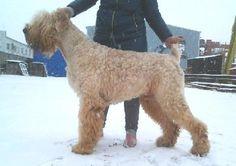 Black Russian Terrier (blonde)