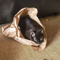It is approximately a cardboard box... #ififitsisits #blue #catsitting #manservant