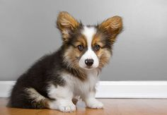 Pembroke Welsh Corgi Dog Breed Information, Pictures … Pembroke Welsh Corgi Dog Breed Information, Pictures, Characteristics & Facts – Dogtime Source by faithinme Corgi Meme, Corgi Dog Breed, Corgi Facts, Corgi Funny, Puppy Breeds, Dog Memes, Welsh Corgi Pembroke, Cute Animals Puppies, Cute Dogs