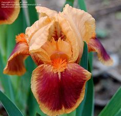 View picture of Standard Dwarf Bearded Iris 'Pele' (Iris) at Dave's Garden.  All pictures are contributed by our community.