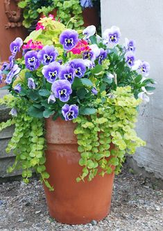 Purple Pansies and Creeping Jenny