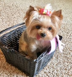 Basket full of Yorkie! Zoe - Yorkshire Terrier - Pink Scarf
