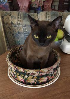I'm sat in de bowl waiting for dinner. Lovely Chocolate Burmese kitten.
