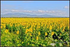 Tuscany sunflowers in bloom in summer in Maremma Italy