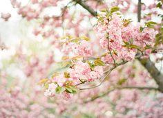 Cherry Blossom, Film Photography