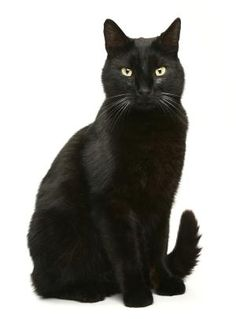 Bombay Cat: learn more about this animal; The Bombay cat is undoubtedly one of the most popular and beautiful cat breeds that exist. Beautiful Cat Breeds, Beautiful Cats, Bombay Gato, Black Cat Images, Black Cats, Black Cat Breeds, What Cat, Cat Drinking, Cat Photography