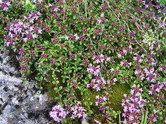 Kangasajuruoho Thymus serpyllum