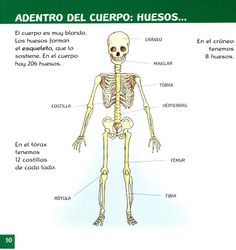 El sistema muscular, el aparato locomotor del cuerpo humano ...