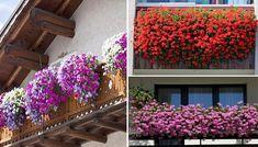 Aj vy obdivujete niektoré balkóny alebo terasy, ktoré sú obsypané krásne kvitnúcimi muškátmi? Vypestujte si aj vy na svojom balkóne či terase krásny muškátový raj. Floral Wreath, Wreaths, Raj, Plants, Gardening, Home Decor, Homemade Home Decor, Door Wreaths, Garten