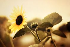Nature Fine Art Photography Print Sun Flower by VanBurensHomeDecor, $15.00