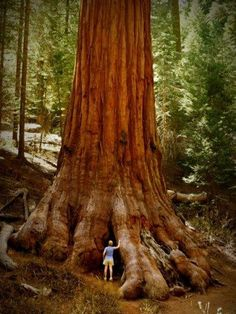 (been)Sequoia National Park. You can never truly imagine the actual size of a sequoia tree by a photo, I do miss seeing them. Sequoia National Park, Beautiful World, Beautiful Places, Unique Trees, Old Trees, Big Tree, Giant Tree, Giant Sequoia Trees, Tree Tree