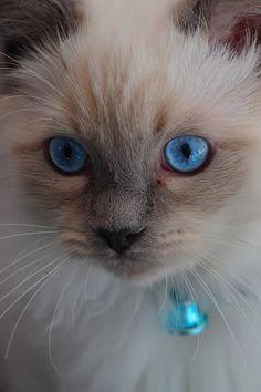 Cats - Beautiful blue eyed Siamese kitten.
