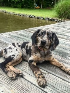 Catahoula Leopard Dog Breed Info: Pictures, Characteristics & Facts