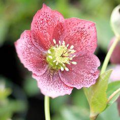 Lenten Rose 'Royal Heritage'