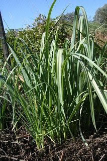 perennial leek plants plus post on other interesting perennial crops: http://living-mudflower.blogspot.com/2012/11/growing-notes-for-perennial-vegetables.html
