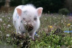 I've always wanted a pet potbelly pig. after 'Cupcake' at Woodhouse Farms by thepecetarianandthepig: Teacup Potbelly Pig!