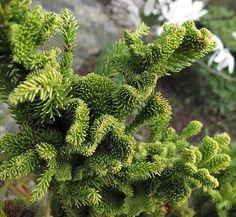 Plant Lust Web Site: Great Site!  (Cryptomeria japonica 'Cristata')