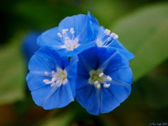 blue flowers names and pictures | Cluster of Dwarf Morning Glory flowers (शंखपुष्पी ...