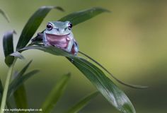 Whites tree froglet 2 by AngiWallace on deviantART Cute Baby Animals, Funny Animals, Wild Animals, Bear Cubs, Grizzly Bears, Tiger Cubs, Wildlife Photography, Animal Photography, Whites Tree Frog