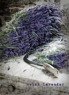 Welsh lavender harvest time..