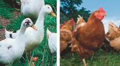 Thinking about adding a laying flock to your backyard? Here are the pros and cons of raising ducks vs. chickens - Chelsea Green - http://goo.gl/DbtIyY
