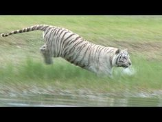 Zabu the white tiger loves to swim! Watch her attack the water :)