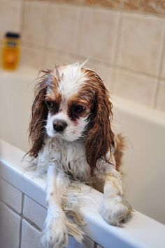This is how Brandy looked this morning. Yay puppy baths!