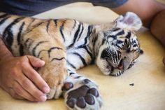 Tiger Kingdom Phuket-tiger encounters in Phuket, Thailand