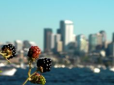 Blackberries and the skyline in Seattle, Washington, Usa