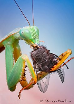 Mantis with dinner by Marco Fischer on 500px