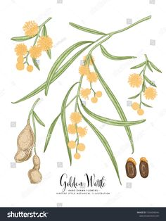 Golden Wattle (Acacia pycnantha) flower and seed pods drawings. Australia's national flower line art on white backgrounds. floral clip art hand drawn group of isolate , Australian Native Flowers, White Backgrounds, Seed Pods, Botanical Illustration, Acacia, Line Art, Hand Drawn, How To Draw Hands, Royalty Free Stock Photos