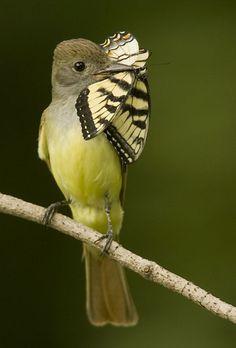 Vogel die een vlinder eet