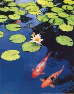 koi pond w lily pads