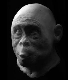 Australopithecus Africanus   Lived 2 million years ago