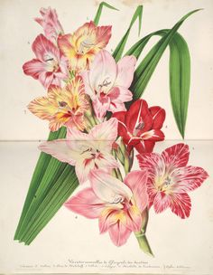 The Biodiversity Heritage Library works collaboratively to make biodiversity literature openly available to the world as part of a global biodiversity community. Missouri Botanical Garden, Botanical Gardens, Gladiolus, Illustration, Pink Flowers, Painting, Vintage Art, Kitchen, Plants