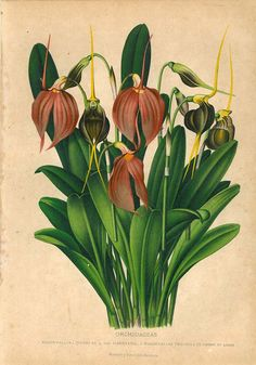 1876 Orchids Antique Chromolithograph Orchidaceae by carambas,