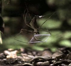 Ogre spider vs. cricket (GIF).