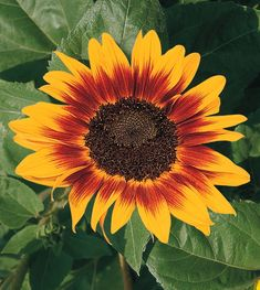 """Ring of Fire is a Unique 5–6"""" golden yellow sunflower heads with a sunburst-mahogany ring around a heavily-seeded, chocolate center. Orange Flowers, White Flowers, Colorful Flowers, Summer Flowers, Amazing Gardens, Beautiful Gardens, Scary Names, Stone Bird Baths, Outdoor Acrylic Paint"""