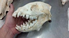 ***Hyena,Skull*****