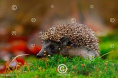 Ježek západní procházející se v mechu West European Hedgehog in green moss Orange Background, Garden Styles, Garden Grass, Forest Garden, Mammals, French Country, Hedgehog, Garden Design, Photo Editing