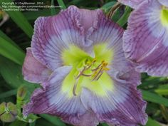 Daylily 'Baby blue Eyes'