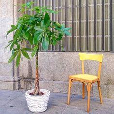 Silla de haya estilo thonet,  estaba pintada en blanco y rojo y la hemos dado una nueva vida pintando de amarillo el asiento y el respaldo.  La planta maravillosa es de @jardindemalasana. #vintagechair #thonet #50s