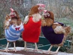 keepin' warm - knitted vests for chickens! - - Batteries with adorable clothes! they can be cute before their feathers grow back!