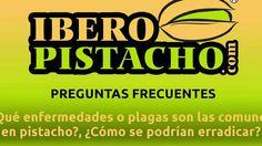 ¿Qué plagas son las comunes en pistacho?, ¿Cómo se podrían erradicar? - ...
